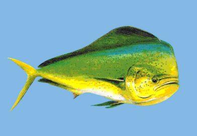 Pescadores atrapan pez con el estómago repleto de plástico